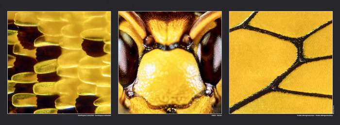 Poster Ornithoptera rothschildi - Hornet - Troides oblongomaculatus , available on Gilles Martin's shop